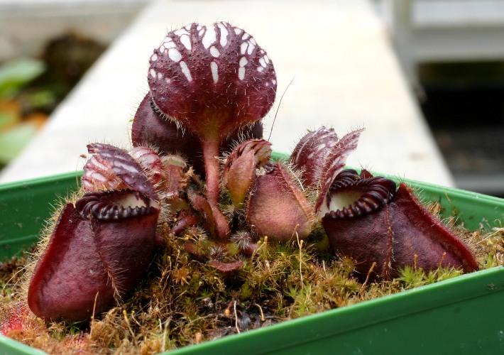 Цефалотус выращивание из семян 47