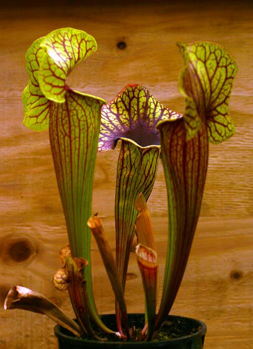 Sarracenia Catesbaei